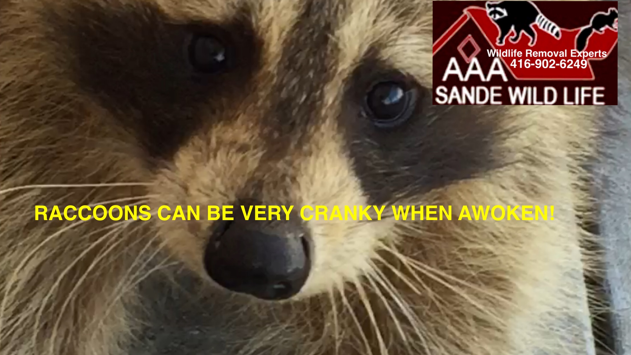 Raccoon Problem