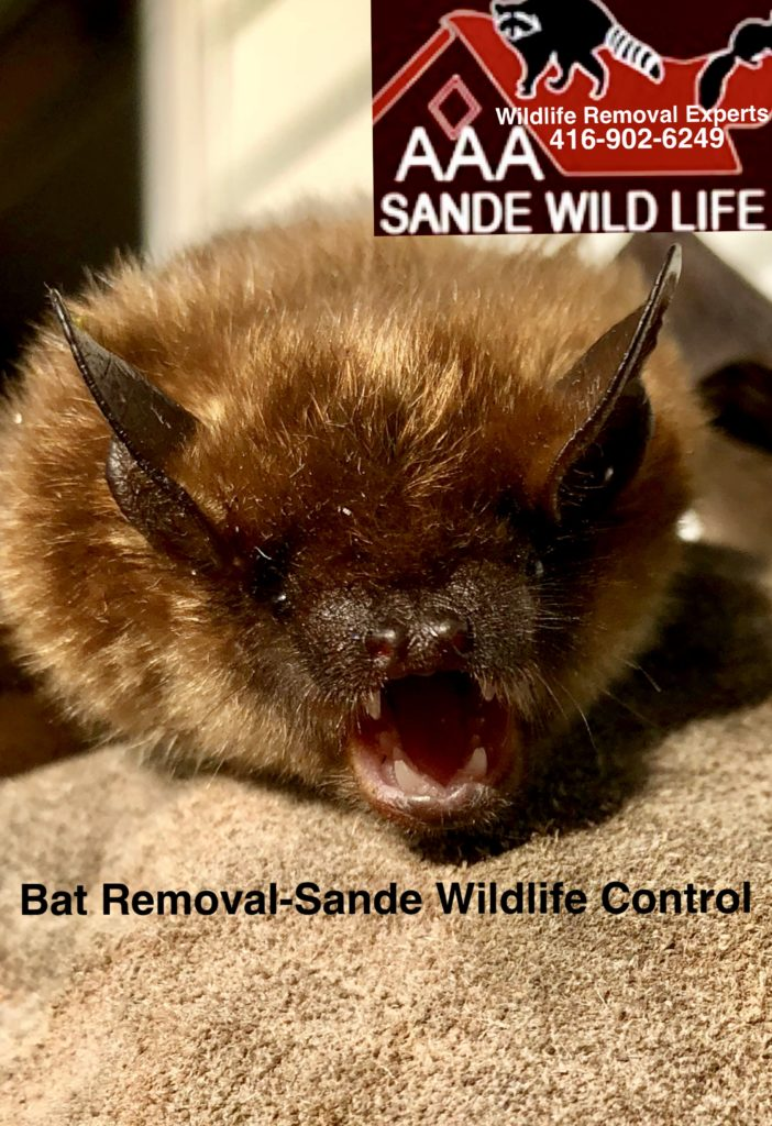 A Quick Look At 5 Common Myths About Bats Sande Wildlife Control