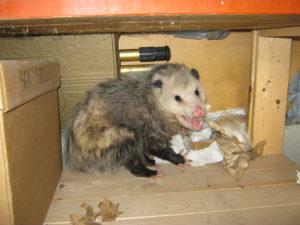 Opossum Removal-Sande Wildlife Control
