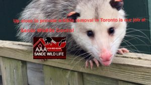 Opossum Removal Experts-AAA Sande Wildlife Control