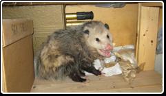 ani_opossums