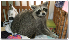 wildlife removal toronto