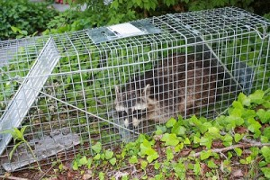raccoon control vs trapping methods