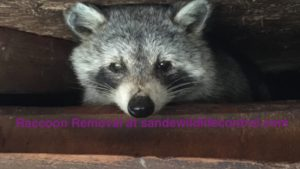 Raccoon Removal in Toronto