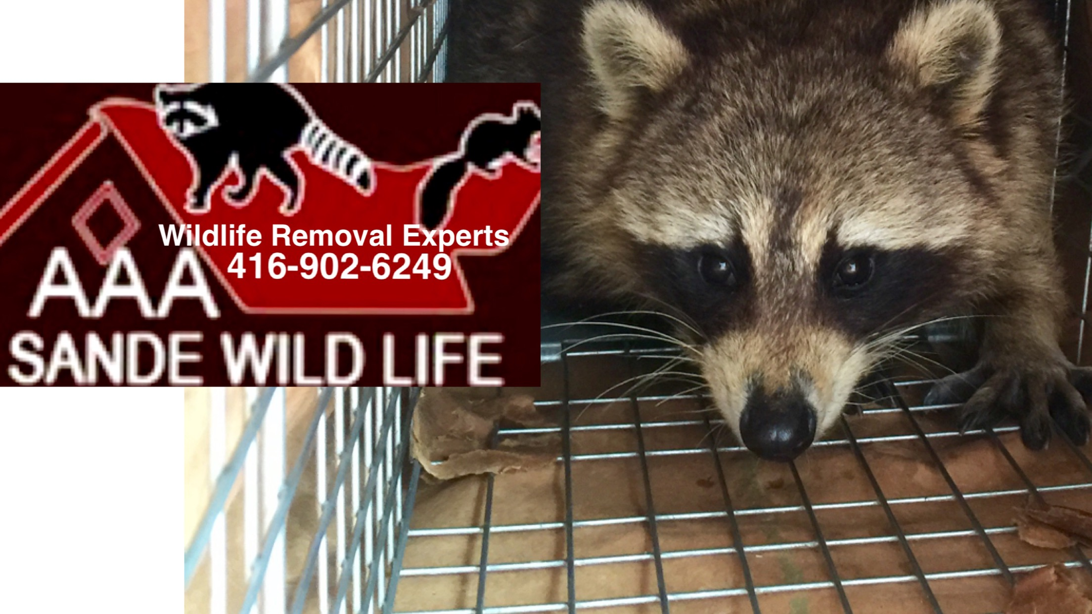 Humane Raccoon Removal-Sande Wildlife Control