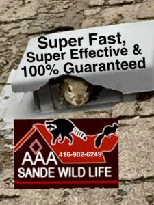 Squirrel Removal-Sande Wildlife Control Experts