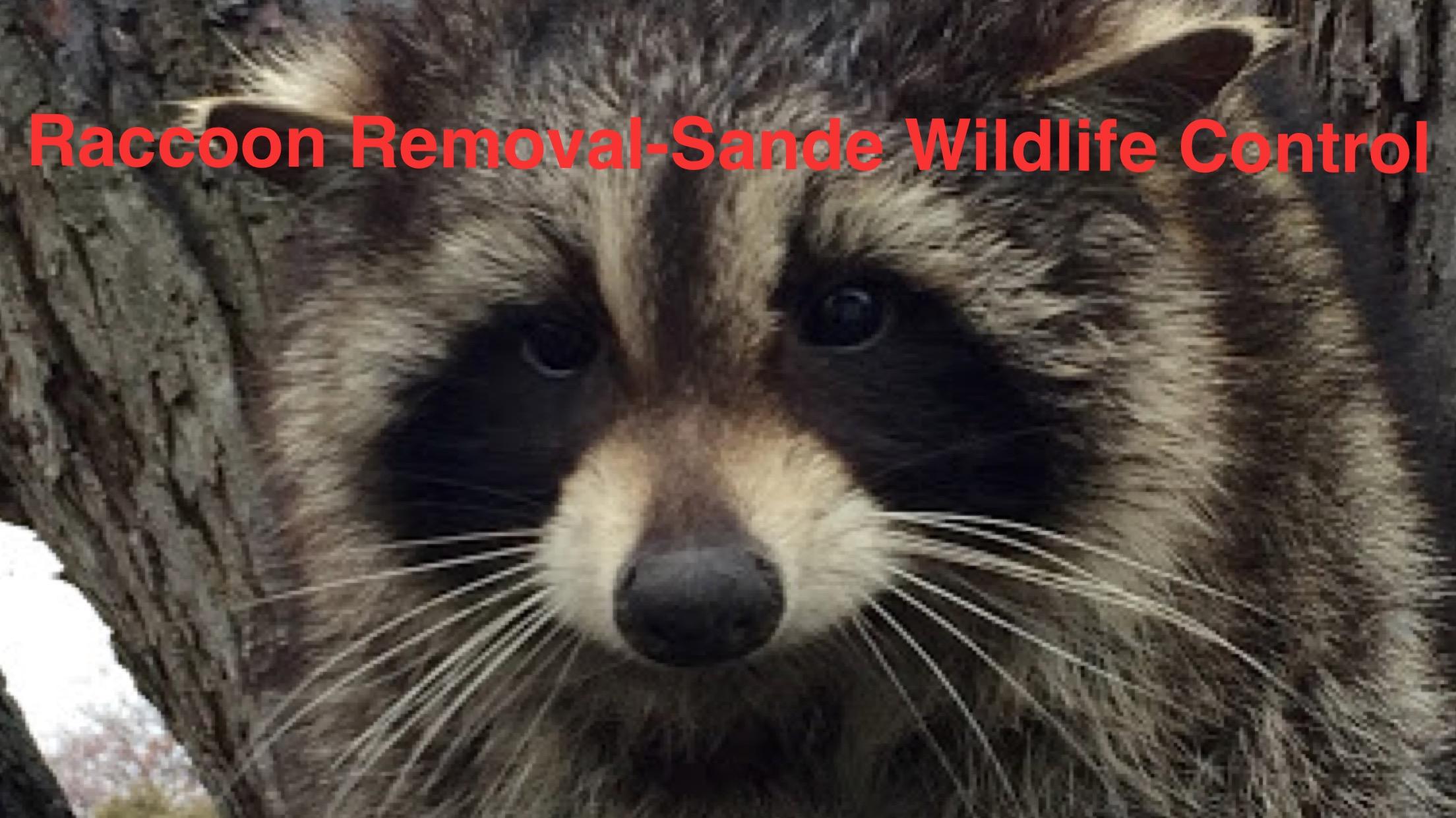 Raccoon Removal-Sande Wildlife Control