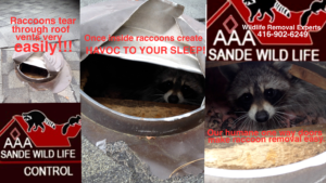 Raccoon Removal Professionals-Sande Wildlife Control