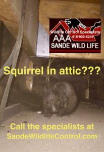 Squirrels in attic-AAA Sande Wildlife Control